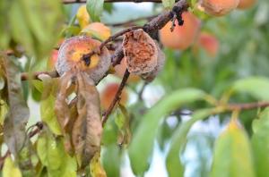 pohon buruk menghasilkan buah yang buruk Matius 7 ayat 18-20